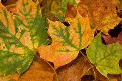 Autumn leaves. Colorful autumn leaves this year Royalty Free Stock Images