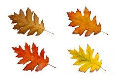 Autumn Leaves colorido - isolado no fundo branco fotografia de stock royalty free