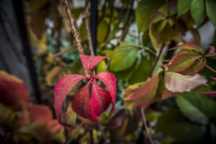 Autumn Leaves. Leaves in the autumn colors Royalty Free Stock Photos