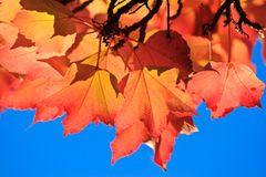 Autumn leaves, colors of fall Royalty Free Stock Image