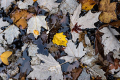 Autumn leaves in colour. Autmun/Fall leaves resting in water Royalty Free Stock Photos