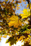 Autumn leaves colour blaze Royalty Free Stock Images