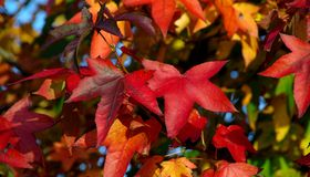 Autumn leaves colour blaze Stock Photography