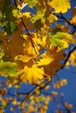 Autumn leaves colour blaze Stock Images