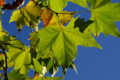 Autumn leaves colour blaze Royalty Free Stock Photo