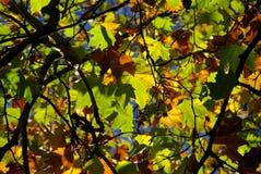 Autumn leaves colour blaze Stock Image