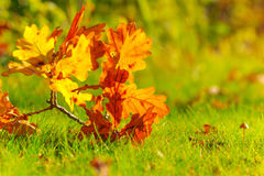 Autumn leaves. Colourful autumn leaves on the ground among grass Royalty Free Stock Photography