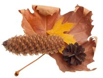 Autumn leaves and cones Stock Image