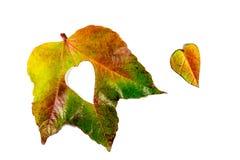 Autumn Leaves Coração das folhas de outono Folhas de outono no fundo branco Folhas de outono da cor Corações do outono para o amo Fotos de Stock