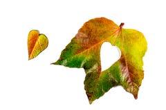 Autumn Leaves Coração das folhas de outono Folhas de outono no fundo branco Folhas de outono da cor Corações do outono para o amo Imagens de Stock