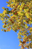 Autumn leaves on Corsica Island, France Stock Photography