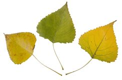 Autumn leaves of cottonwood Royalty Free Stock Photos