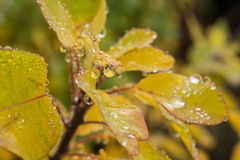 Autumn leaves covered with droplets Stock Images