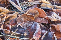 Autumn leaves covered in early frost Royalty Free Stock Photos
