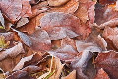 Autumn leaves covered in early frost. Autumn leaves covered in early morning frost Stock Images