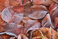 Autumn leaves covered in early frost. Autumn leaves covered in early morning frost Royalty Free Stock Photo