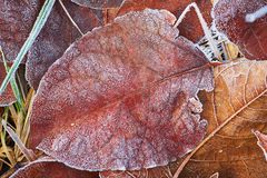 Autumn leaves covered in early frost. Autumn leaves covered in early morning frost Stock Image