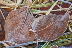 Autumn leaves covered in early frost. Autumn leaves covered in early morning frost Stock Photo