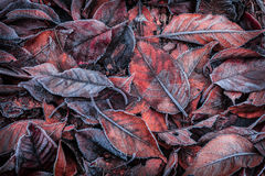 Autumn leaves covered with frost - background Stock Image