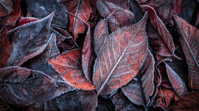 Autumn leaves covered with frost - background Stock Photo