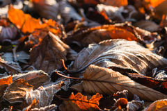 Autumn leaves covered in frost Stock Photography