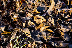 Autumn leaves covered in frost with the sun shining on the leave Stock Photography