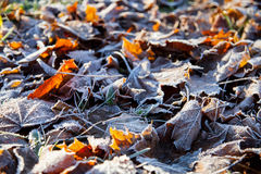 Autumn leaves covered with hoarfrost Stock Image
