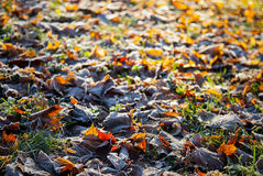 Autumn leaves covered with hoarfrost Stock Photography