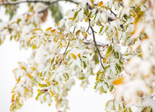 Autumn leaves covered with snow. Colorful autumn leaves covered with snow Royalty Free Stock Photo