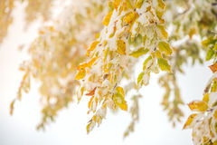 Autumn leaves covered with snow Royalty Free Stock Photos