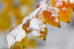 Autumn leaves covered with snow Royalty Free Stock Images