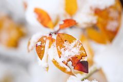 Autumn leaves covered with snow Stock Photos