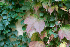 Autumn leaves covering a wall Royalty Free Stock Photography