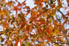 Autumn leaves on a crape myrtle Royalty Free Stock Photos