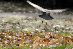 Autumn leaves and a crow flies into the distance (soft focus). Royalty Free Stock Photos