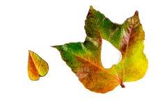 Autumn Leaves Cuore delle foglie di autunno Fogli di autunno su priorità bassa bianca Foglie di autunno di colore Cuori di autunn Fotografia Stock