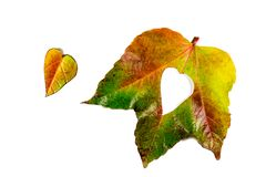 Autumn Leaves Cuore delle foglie di autunno Fogli di autunno su priorità bassa bianca Foglie di autunno di colore Cuori di autunn Immagini Stock