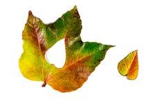 Autumn Leaves Cuore delle foglie di autunno Fogli di autunno su priorità bassa bianca Foglie di autunno di colore Cuori di autunn Immagine Stock