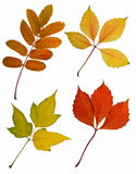Autumn leaves cutout. Autumn leaves isolated on white background Stock Photography