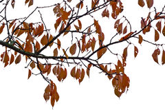 Autumn Leaves Cutout Royalty Free Stock Photo