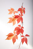 Autumn leaves cutout Stock Image