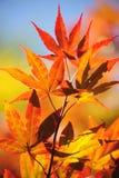 Autumn Leaves da árvore de bordo japonês Fotos de Stock Royalty Free