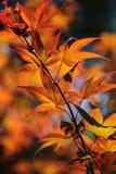 Autumn Leaves da árvore de bordo japonês Imagem de Stock