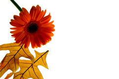 Autumn leaves and daisy. Two fall leaves and a gerber daisy on white background. Autumn royalty free stock photo