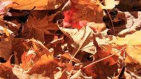 Autumn Leaves 1 Dalingen op Grond stock video
