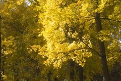 Autumn Leaves de l'érable sont illuminés par les rayons du ` s de Sun Photographie stock