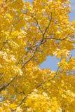 Autumn Leaves de l'érable sont illuminés par les rayons du ` s de Sun Photos stock