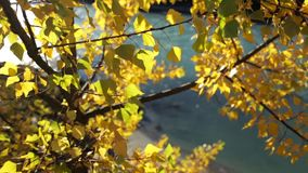 Autumn Leaves de oro colorido almacen de metraje de vídeo