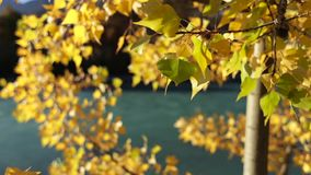 Autumn Leaves de oro colorido almacen de video