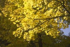 Autumn Leaves dell'acero è illuminato dai raggi del ` s di Sun Fotografie Stock